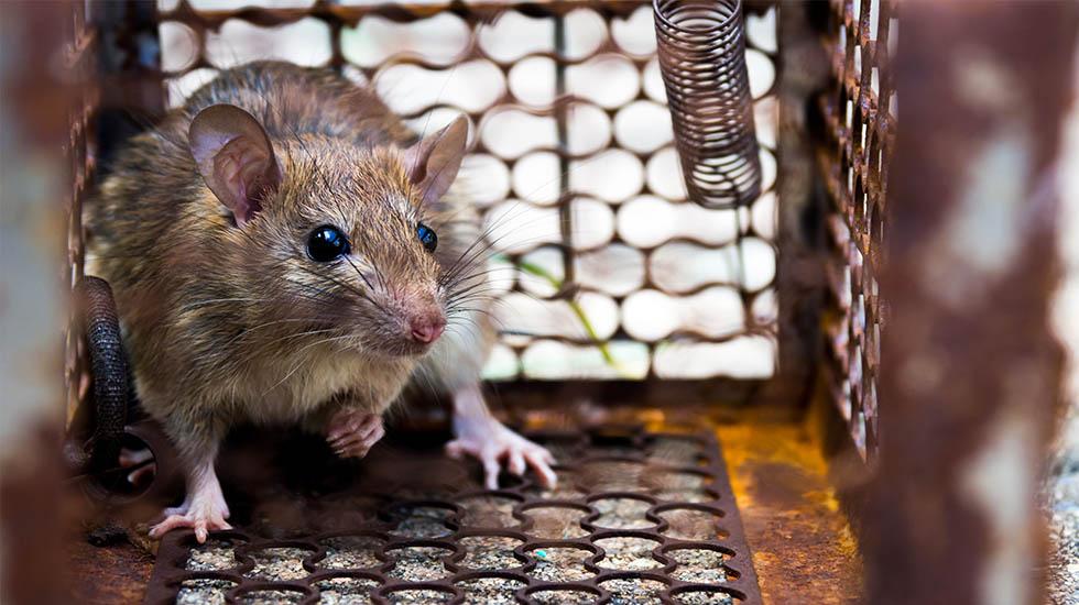 roedores serv princ